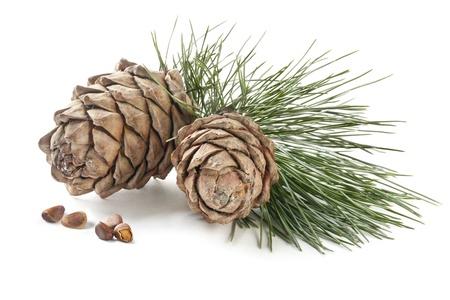 cedro: Conos de cedro con ramas y frutos secos sobre un fondo blanco