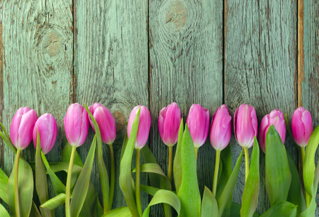 Row of pink Row of pink tulips against a blue background with space for the text. Festive flower background for a Mother's Day or other celebration.tulips against a blue background with space for the text. Festive flower background for a Mother's Day or other celebration. Gardening Imagens