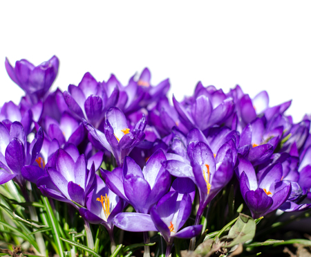 Crocus flowers in garden with leaves isolated on white background, spring season. Copy space.
