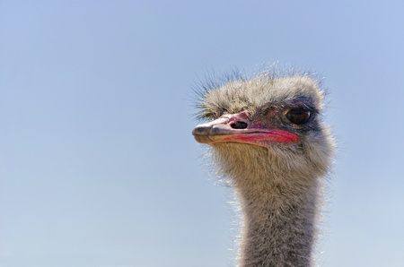 Ostrich Close up portrait with neck, Close up ostrich head against the blue sky. Struthio camelus. Selective focus.