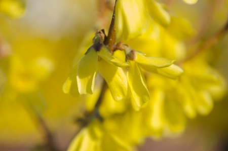 Flowering forsythia in springtime. Forsythia - genus of shrubs and small trees Oleaceae family, blooming yellow flowers. Forsythia shrub having bright yellow flowers in spring. Forsythia bush bloom.