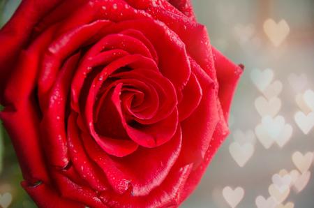 浪漫背景中的红玫瑰。情人节或母亲节。关闭了。有选择性的重点。