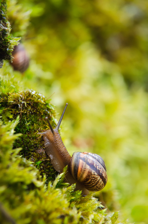 Big grape snail in shell crawling, summer day in garden, A common garden snail climbing on a stump, edible snail or escargot, is a species of large, edible, air-breathing land. Selective focus.