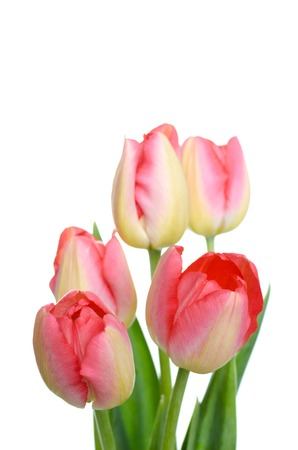 Spring flower. Bunch of Pink tulips isolated on white background. Selective focus.