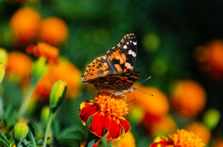 Painted lady butterfly, Vanessa cardui, adult on orange marigold in summertime