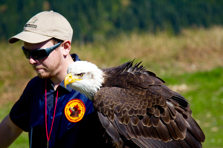 handlers: VANCOUVER, CANADA - JUNE 12, 2010: A handler with a trained Bald Eagle on Grouse Mountain