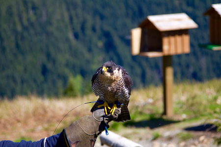 handlers: A falcon sitting on a handlers hand at the Grouse Mountain in Vancouver, Canada. A bird house is in the background. Stock Photo