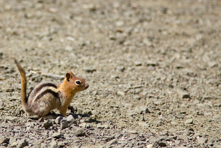 crater lake: Side shot of a squirrel (Chipmunk) with its tail up. Shot at the Crater Lake National Park, Oregon, US. Stock Photo