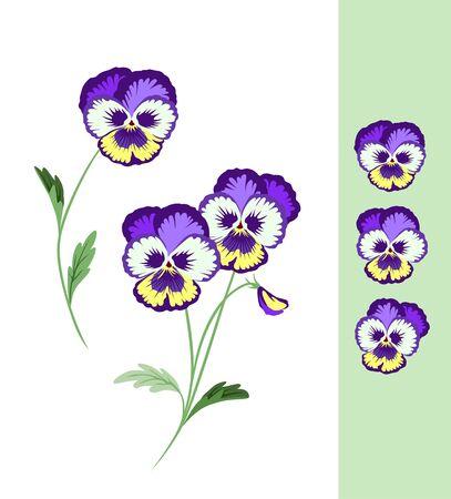 Fleurs De Pensée De Printemps. Tricolore violet sauvage. Heartsease coloré d'été. Fleur de vecteur. Vecteurs