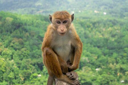 Toque Macaque (Macaca Sinica) En Green Jungle. Lindo macaco salvaje en hábitat natural, Kandy, Sri Lanka, Asia.