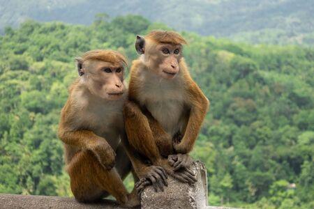 Pair Of Toque Macaques (Macaca Sinica) In Green Jungle. Cute Wild Monkeys In Nature Habitat, Kandy, Sri Lanka, Asia.
