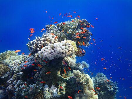 Bunte tropische Fische im Ozean. Schule von Goldfischen im Meer in der Nähe von Korallenriff. Leuchtend rote Anthias-Fische. Standard-Bild