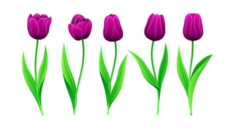 Collection Of Vector Purple Tulips With Stem And Green Leaves. Set Of Different Spring Flowers. Isolated Tulip Cliparts With Dark Burgundy Petals. Tulip Buds, Blooming Flowers. Transparent Background.  Illusztráció