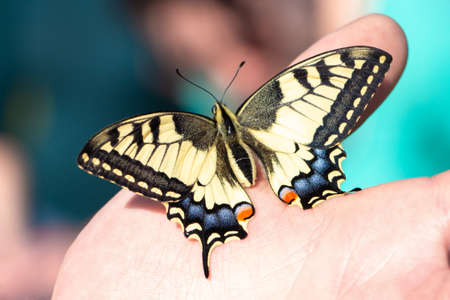 Machaon butterfly (Papilio machaon, swallowtail) sitting on the hand. Beautiful colorful insect with yellow, orange, blue and black spotted wings. Macro, close up, top view. Stock Photo
