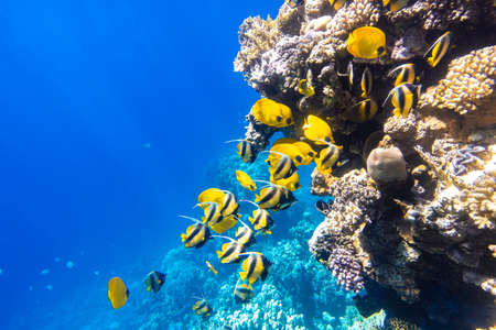 Large school of Butterflyfish (Chaetodon) in the coral reef, Red Sea, Egypt. Different types of bright yellow striped tropical fish in the ocean, clear blue turquoise water, sun rays. Underwater photo