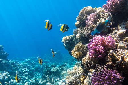 Pennant coralfish (longfin bannerfish), Butterflyfish (Chaetodon) and Parrotfish in colorful coral reef, Red Sea, Egypt. Bright yellow striped tropical fish in the ocean, clear blue turquoise water, sun rays.