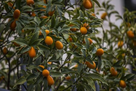 Beautiful macro photo of kumquat tree with juicy fruits. Nature of Middle East. Фото со стока