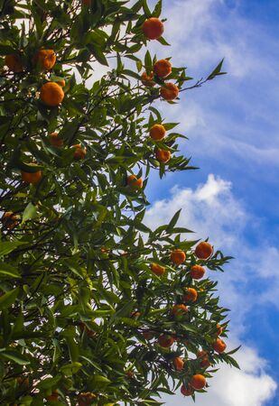 Beautiful macro photo of flowering orange tree with juicy fruits. Green leaves, white blossom, oranges. Nature of Middle East.