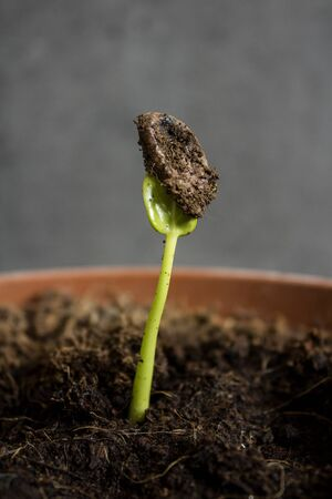 Green sprout of persimmon in the ground. Close up photo. Home gardening concept. Leaf texture macro. Dark grey background with copy space.