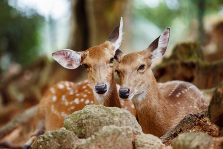 capreolus: A couple of young capreolus deers lying together at a natural park background. Stock Photo