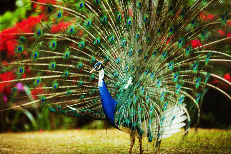 Closeup image of a beautiful blue peacock in park at tropical trees background. photo