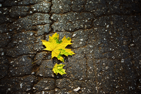 nature photo: Two yellow autumn leaves at asphalt road background
