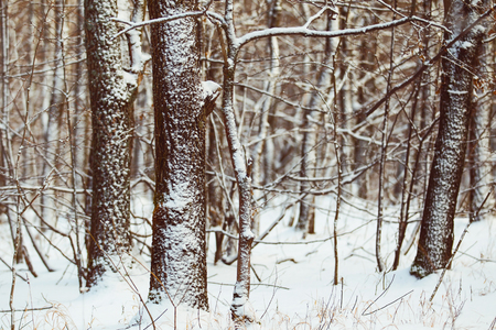 wintery day: frozen trees in Russian winter forest Stock Photo
