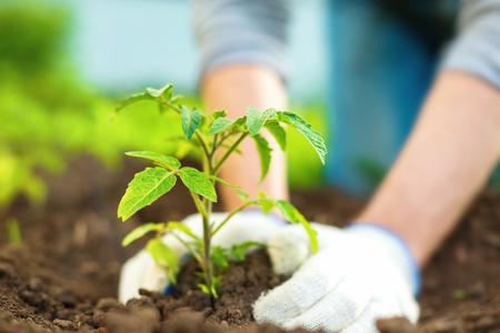 Image gros plan des mains dans le fumier plantant des pousses vertes dans le sol imperméable Banque d'images - 79223393
