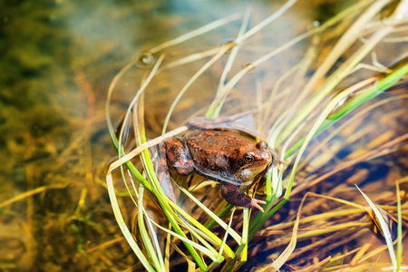 amphibia: Closeup image of brown frog sitting in pond in russian forest. Stock Photo