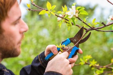 Gardener with pruner trimming cherry tree branch at summer garden background.