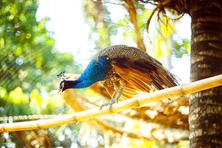 El pavo real hermoso se está sentando en la ramificación de bambú al aire libre en el fondo asiático del parque.