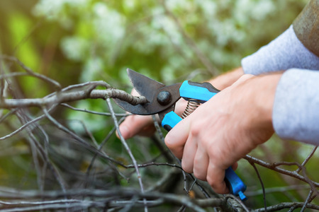 cutting: Closeup gardener hands with pruner cutting dry branch at green background. Stock Photo