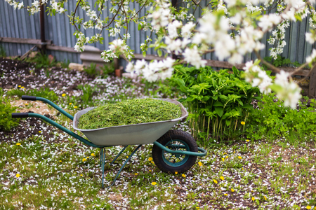 Closeup vintage wheelbarrow full of grass at blossoming apple tree background. View from above.