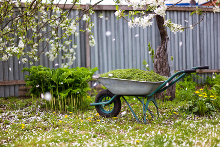 Closeup vintage wheelbarrow full of grass at blooming apple tree with falling blossoms background.
