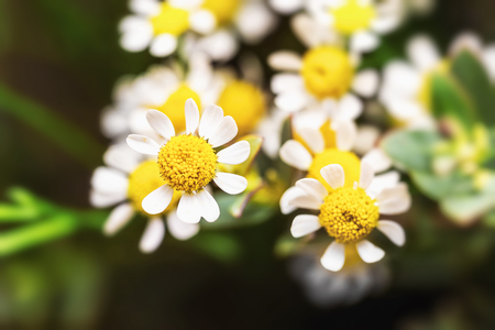 Closeup natural background with daisy flowers.