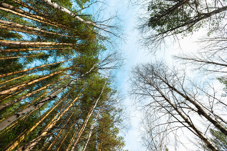 Spring fir forest view from below at Taganay park, Russia