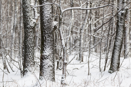 Landscape of russian winter forest with trees covered by snow.