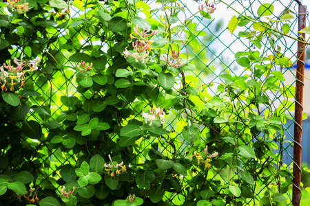 Closeup image of steel rabitz fence with fresh grape leaves trailing around at spring garden background. Kho ảnh