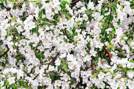 Closeup branches of spring apple tree blossoms as a natural background.