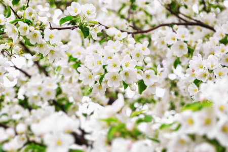 Closeup branch of spring apple tree blossoms as a natural background.