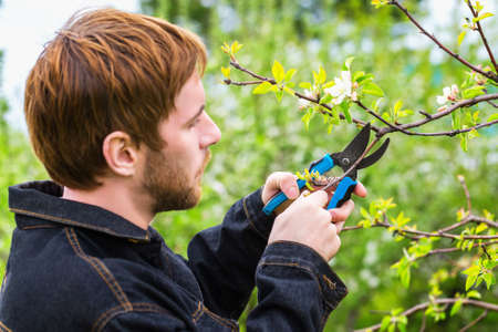 Closeup image of gardener with pruners trimming branches of apple tree at spring garden background.