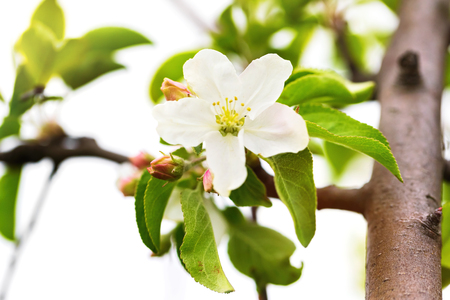 Closeup image of apple tree blossom at spring garden background.