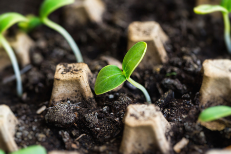 Closeup image of green sprouts in soil as spring seedings. Kho ảnh