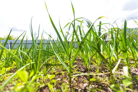 Closeup image of green grass at spring garden.