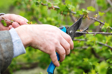 Closeup image of old man hands with pruner trimming cherry tree branch at summer garden background.