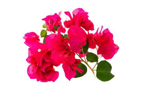 Closeup image of tropical pink flowers blossom isolated at white background. Pattern for design