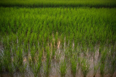 View of young rice field with water