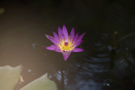 Blurry background of lotus flower in a pond with water surface Banco de Imagens