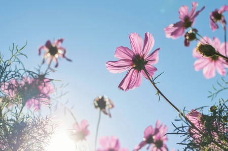Blurry background of pink cosmos with sunlight in the garden Banco de Imagens