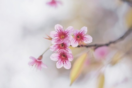 Blurry background of pink blossom sakura at Thailand